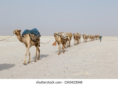 Danakil, Ethiopia, February 22 2015 : Camels carry salt blocks in the hot and inhospitable Danakil desert to the next village in Ethiopia