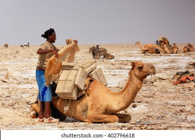 DANAKIL, ETHIOPIA-MARCH 28: Afar herder loads a dromedary camel with amole-salt slabs of the ganfur-4 kg.size to transport them to Berahile market 75 kms.away on March 28, 2013. Afar region.