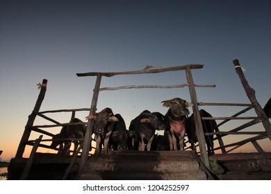 Danau Panggang South Kalimantan Indonesia, April 16 2018: Swamp buffalo in a cage.