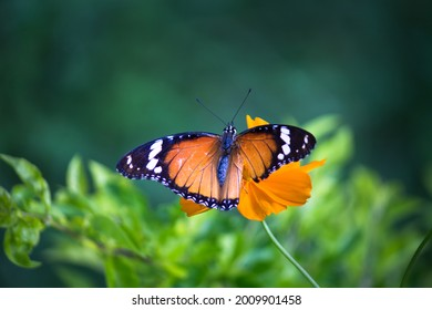 Danaus chrysippus, also known as the plain tiger, African queen, or African monarch, Danainae,  is a medium-sized butterfly widespread in Asia, macro shots, butterfly garden.