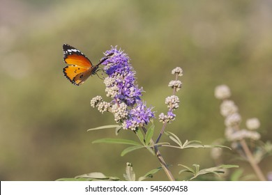 Danaus chrysippus, plain tiger or African monarch beautiful butterfly on Vitex agnus-castus, also called vitex, chaste tree, chasteberry, Abraham's balm, lilac chastetree, or monk's pepper