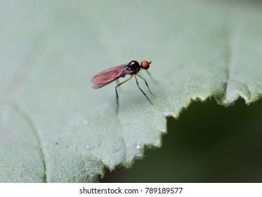 Dance fly - Dance flies - Hybotidae