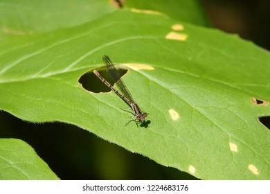 Dancer Damselfly on Leaf