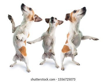 Dancing 3 dogs collage surprised dog is standing on its hind paws. Funny pet theme. White background. Party hard