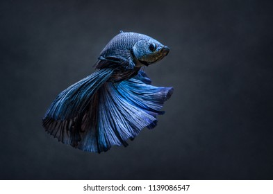 Dancing Bettas Siamese Fighting Fish