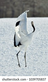 Dancing Cranes. The red-crowned crane (Sceincific name: Grus japonensis), also called the Japanese crane or Manchurian crane, is a large East Asian crane.