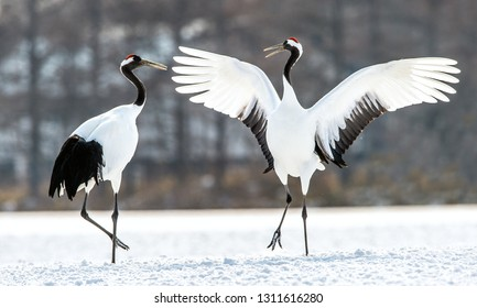 Dancing Cranes. The ritual marriage dance of cranes. The red-crowned crane. Scientific name: Grus japonensis, also called the Japanese crane or Manchurian crane, is a large East Asian Crane.