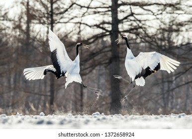 Dancing Cranes. The ritual marriage dance of cranes. The red-crowned crane . Scientific name: Grus japonensis, also called the Japanese crane or Manchurian crane.