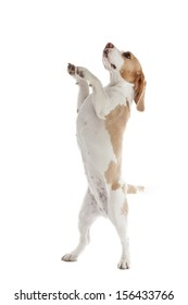 dancing dog beagle on a white background in studio