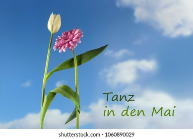Dancing flowers, white tulip and pink gerbera against the blue sky with clouds, german text Tanz in den Mai, meaning  dance into the may,  holiday party concept for 1st may and walpurgis night, copy