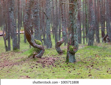 Dancing forest, Curonian spit, Kaliningrad region, Russia