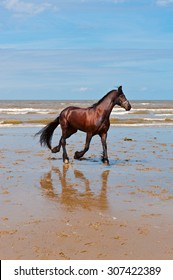 Dancing Horse on the North Sea Coast in Zealand in Netherlands