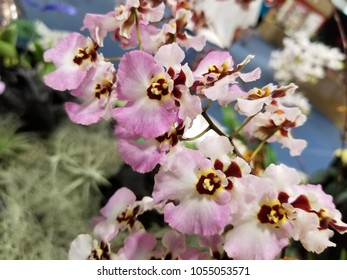 Dancing lady orchid flowers or Tolumnia or oncidium orchid flowers or called butterfly orchid or butterfly plant in the Oahu island of Hawaii, USA