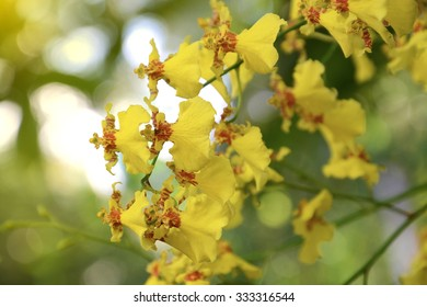 HOA GIEO TỨ TUYỆT 2 - Page 54 Dancing-lady-orchid-oncidium-varicosum-260nw-333316544