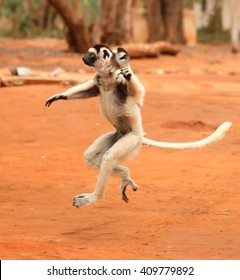 Dancing lemurs of Madagascar in the wild, verreaux's sifaka or Propithecus verreauxi with baby on the back