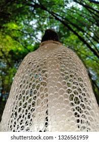Dancing mushroom grow in bamboo park, Phallus indusiatus