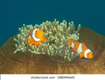 Dancing ocellaris clownfish (Amphiprion ocellaris )  and tosa commensal shrimp ( Periclimenes tosaensis) on closed anemone, Bali, Indonesia