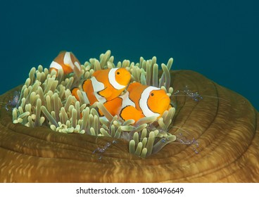 Dancing ocellaris clownfish ( Amphiprion ocellaris )   and tosa commensal shrimp (  Periclimenes tosaensis) on closed anemone, Bali, Indonesia