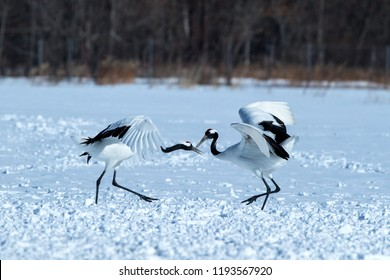 Dancing pair of red crowned cranes (grus japonensis) with open wings on snowy meadow, mating dance ritual, winter, Hokkaido, Japan, japanese crane, beautiful white and black birds, elegant, wildlife