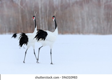 Dancing pair of Red-crowned cranes with, with blizzard, Hokkaido, Japan. Pair of beautiful birds, wildlife scene from nature.
