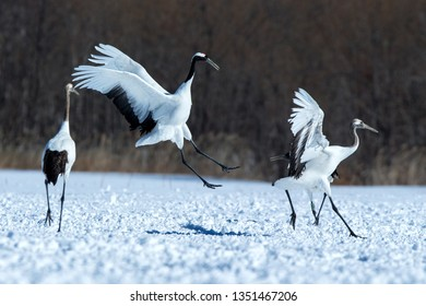 Dancing red crowned cranes (grus japonensis) with open wings on snowy meadow, mating dance ritual, winter, Hokkaido, Japan, japanese crane, beautiful white and black birds, elegant, wildlife