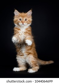 Dancing red tabby with white Maine Coon cat / kitten standing on back paws like meerkat looking into the lens isolated on black background
