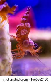 Dancing saltwater shrimp - Thor amboinensis