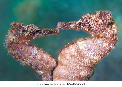 dancing Sea Horse in the Caribbean Sea at scuba dive around Curacao /Netherlands Antilles