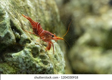 Dancing shrimp, Hinge-beak shrimp, Camel shrimp
