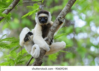 Dancing Sifaka (Lemur) in a Tree