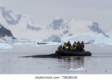 Danco Harbor, Antarctica - December 24 2016.  A humpback whale (Megaptera novaeangliae) surfaces close to a group of tourists in an inflatable boat