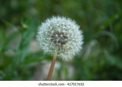 Dandelion across a fresh green background