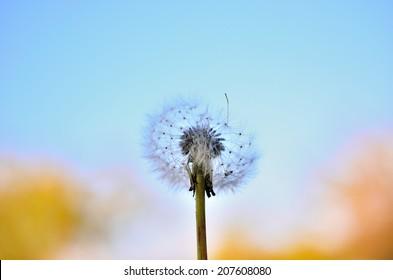 Dandelion, after emitting seeds, waned shape, for expressing imperfectness, absentness or tiredness