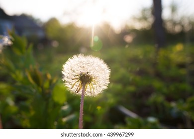 Dandelion after rain on the sunset background