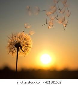 Dandelion against the backdrop of the setting sun. Lightness concept.