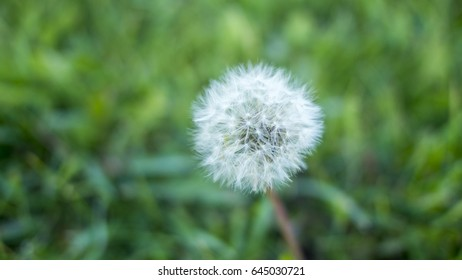 Dandelion against the background of green grass