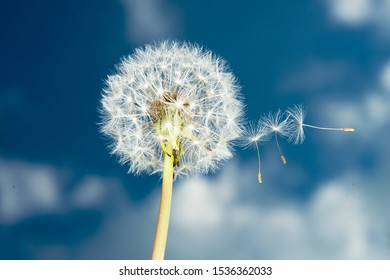 Dandelion against the blue sky