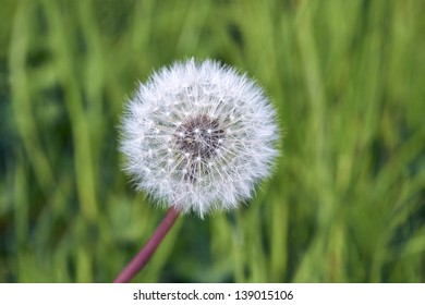 Dandelion against green backgound
