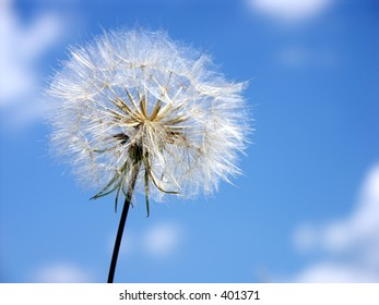 Dandelion against the sky