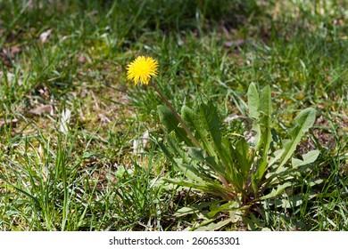 Dandelion with all leafs single in a field