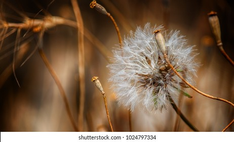 dandelion among dried out weeds