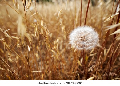 Dandelion among the grass field