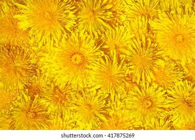 Dandelion background - Taraxacum officinale