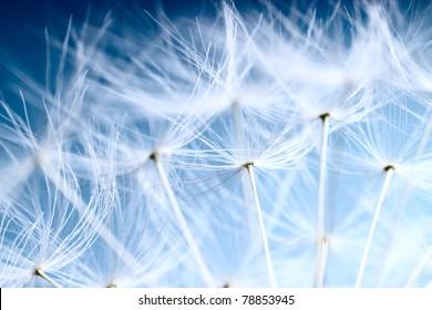The Dandelion background.Abstract dandelion seeds over blue sky