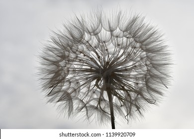 Dandelion backlight in cloudy day