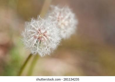 Dandelion in Bloom