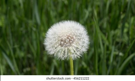 Dandelion blow-ball