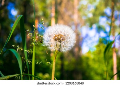 Dandelion Blowball in the early morning on the background of coniferous forest.