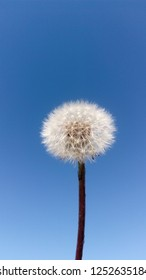 dandelion blowball flower