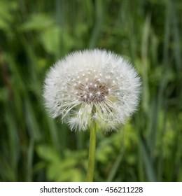 Dandelion blow-ball. Flower